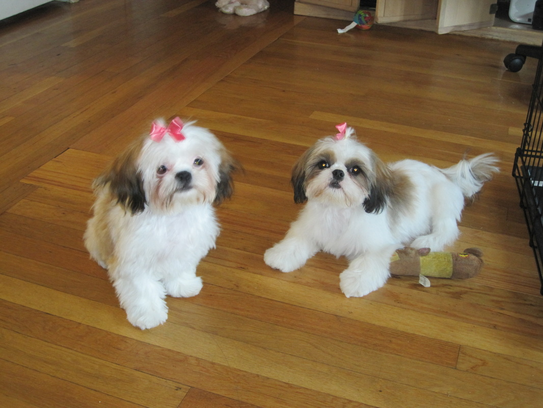 Grooming Shih Tzus By Elaine