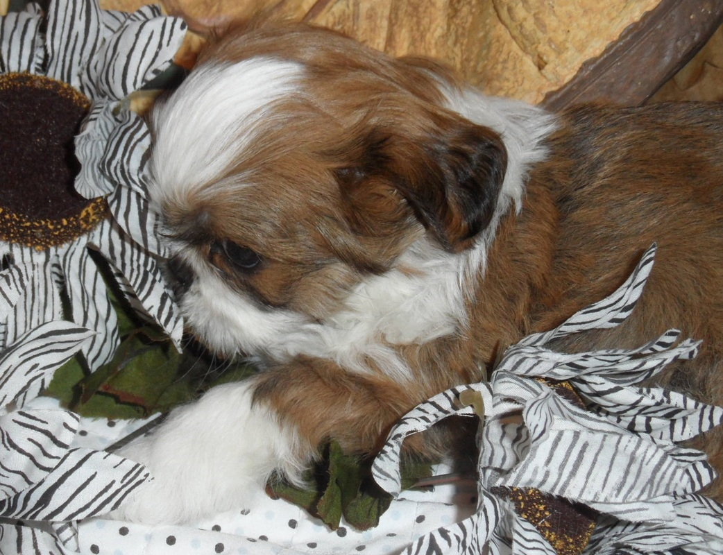 SHIH TZU'S BY ELAINE - Shih Tzu Puppies, Teacup Yorkies
